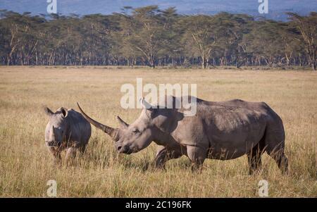 Rhino blanc avec une corne massive et un jeune marchant dans les plaines du lac Nakuru Kenya Banque D'Images