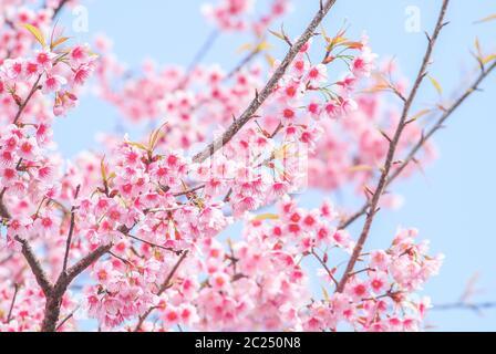 Printemps avec de belles fleurs de cerisiers