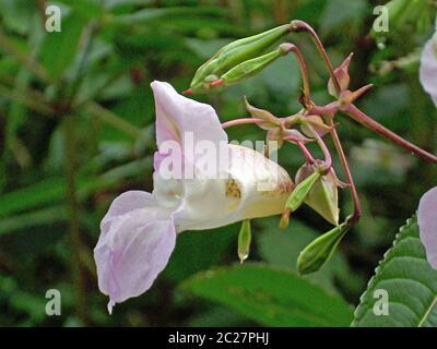 Fleur unique, orientée vers la gauche, et gousses de graines explosives de la mauvaise herbe envahissante, le baumier himalayen (Impatiens glandulifera). Croissant dans un marais avec un