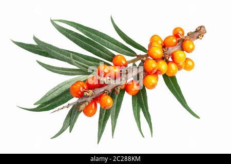 L'argousier (Hippophae rhamnoides), de la direction générale avec des baies et des feuilles isolées,