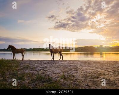 Deux chevaux bruns, jeune poulain et sa mère mare, près d'étang, à l'arrosage sur fond coucher avec la réflexion sur la surface du lac.