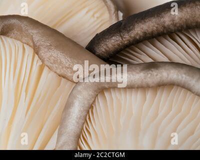 gros plan sur les champignons des huîtres