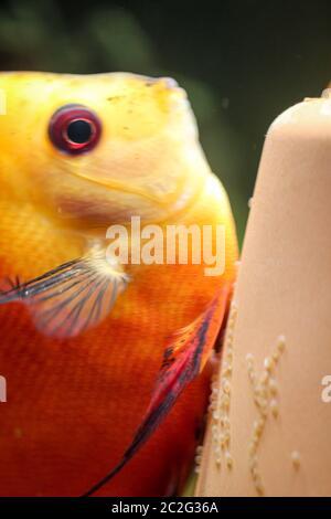 vue, portrait d'un poisson de discus frayant sur le cône de frai