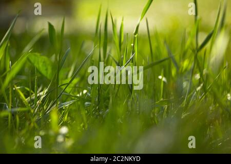 Détail de quelques lames d'herbe couvertes de lumière du soleil le matin