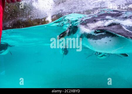 Pingouins Humboldt nageant dans l'eau