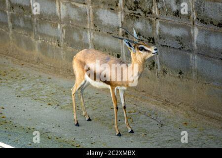 Dorcas du Saharian (Gazella dorcas osiris) au zoo de Barcelone.