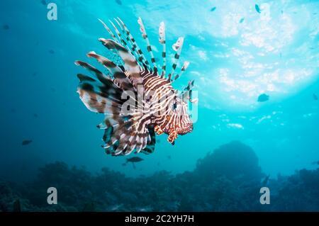 Poisson-papillon commun ou devil firefish (Pterois miles). Souvent confondu avec poisson-papillon rouge (Pterois volitans). Endémique de la Mer Rouge. L'Egypte, Mer Rouge. Banque D'Images