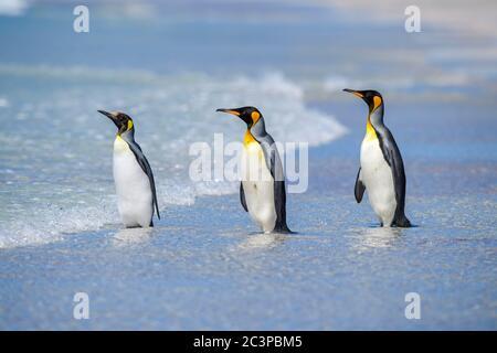 Pingouin royal (Aptenodytes patagonicus), Volunteer point, East Falkland, îles Falkland