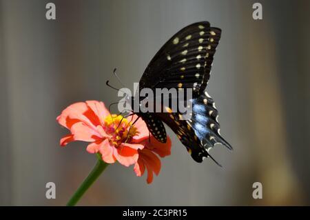 papillon à queue d'allowtail noir de l'est sur une zinnia