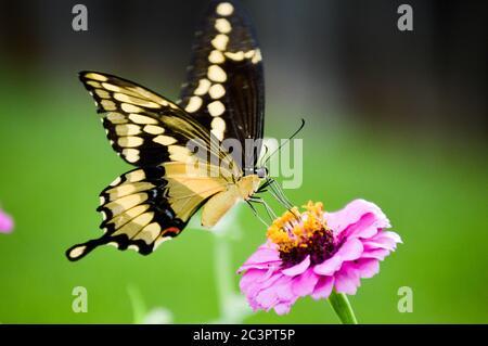 Papillon géant à queue d'hirondelles (papillio créphontes) sur une zinnia rose