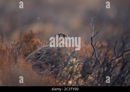 Une femelle de tétras rouge est un camouflage parmi la bruyère dans les Highlands d'Écosse, au Royaume-Uni Banque D'Images