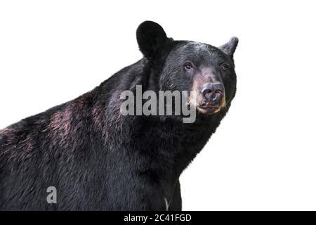 Ours noir américain (Ursus americanus) gros plan portrait sur fond blanc