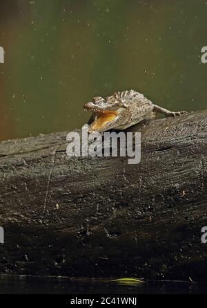 Crocodile américain (Crocodylus acutus) juvénile en bois de pluie Cuero y Salado, Honduras février 2016