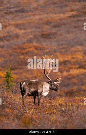 Caribou de la taureau en couleur d'automne