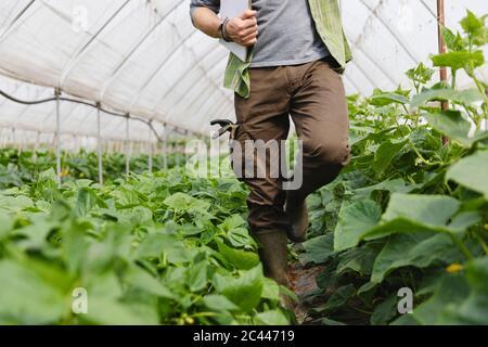 Agriculteur marchant parmi les légumes cultivés dans la serre, agriculture biologique Banque D'Images