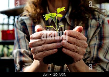 Section médiane de l'agriculteur féminin détenant une plante biologique en serre Banque D'Images