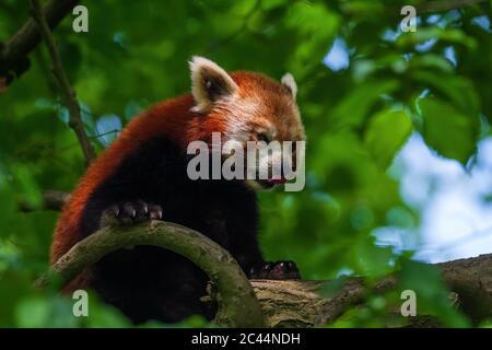 Panda rouge - Ailurus fulgens, populaire petit panda de forêts et de terres boisées asiatiques, Chine.