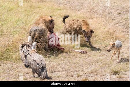 Hyène tachetée, ou hyène riante, Crocuta crocuta, se nourrissant de flétrissure bleue, de Connochaetes taurinus, et de vautour blanc, de Gyps africanus, et de bl Banque D'Images