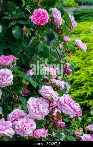 Rose Rosa Gertrude Jekyll Banque D'Images