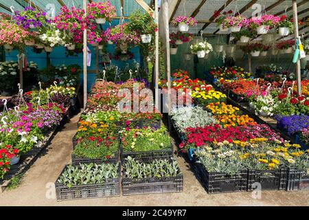 Variété fleurs fleuries dans le marché local pour la décoration de la région. petunia décoratif et d'autres plantes sont à vendre. Boutique de fleurs. FL Banque D'Images