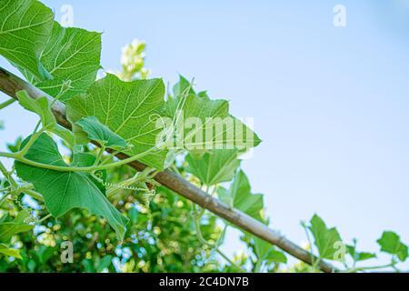 Plante de courge verte poussant dans la clôture de jardin contre le ciel clair Banque D'Images