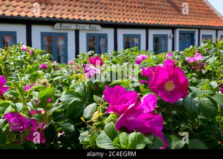 Maison traditionnelle à colombages, Gammel Skagen, Jutland, Danemark, Europe