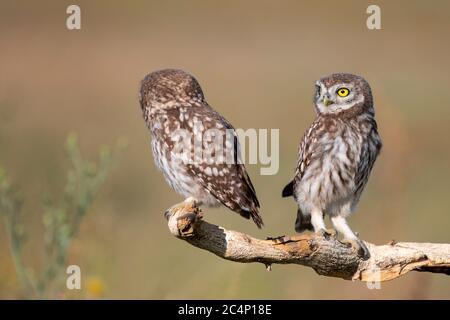 Deux jeunes chouettes, Athene noctua, se tiennent sur un bâton sur un beau fond.