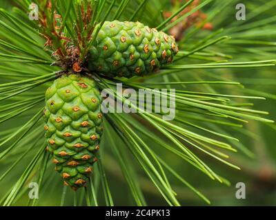 Jeunes cônes verts sur une branche d'un pin rouge japonais, Pinus densiflora