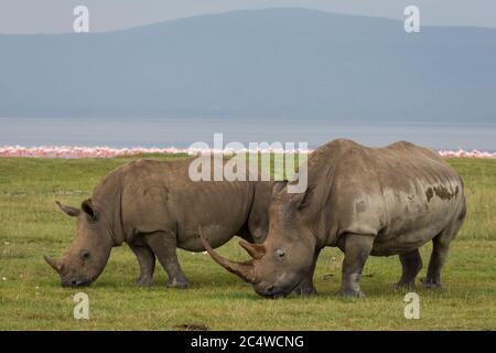 Mère avec une grosse corne et un jeune rhinocéros qui broutage dans le lac Nakuru au Kenya Banque D'Images