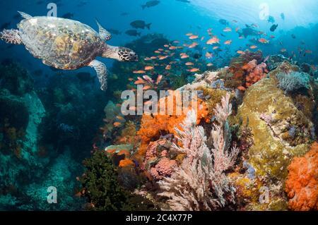 Tortue imbriquée (Eretmochelys imbricata) nageant sur les récifs coralliens avec des coraux mous, des gorgoniens et des anthias. Parc national de Komodo, Indonésie. Banque D'Images