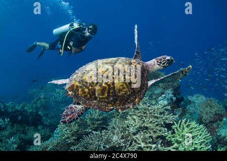 Tortue imbriquée (Eretmochelys imbricata) nageant sur un récif de corail avec un plongeur mâle en arrière-plan. Indonésie. Banque D'Images