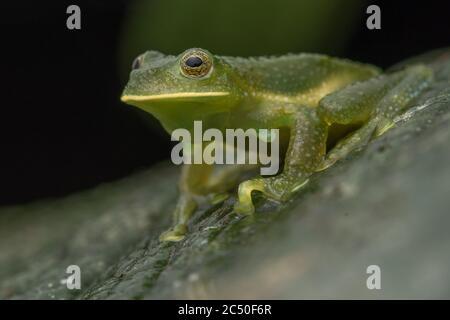 La grenouille bosselée (Centrolene heloderma) est une espèce rare de grenouille qui se trouve uniquement en Equateur et qui est considérée comme étant en danger de disparition. Banque D'Images