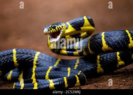 Gros plan d'un serpent de la Boïga prêt à frapper, Indonésie Banque D'Images