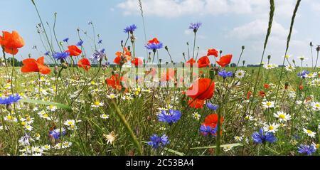 Fleurs sauvages d'été à côté des champs de céréales dans le Mecklembourg Vorpommern, Allemagne