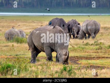 Rhinocéros blancs (Ceratotherium simum). Groupe de rhinocéros blancs, Parc national du lac Nakuru, Kenya, Afrique Banque D'Images