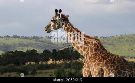 Portrait d'une girafe dans le paysage de Masai Mara à la lumière du matin Banque D'Images