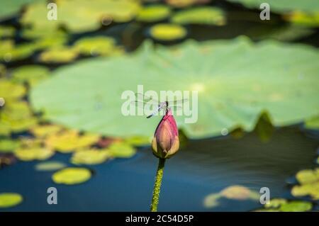 Cliché sélectif d'une libellule assise sur une fleur bouton