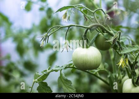 une tomate verte non mûre dans une serre est suspendue sur une branche, sur un fond flou Banque D'Images