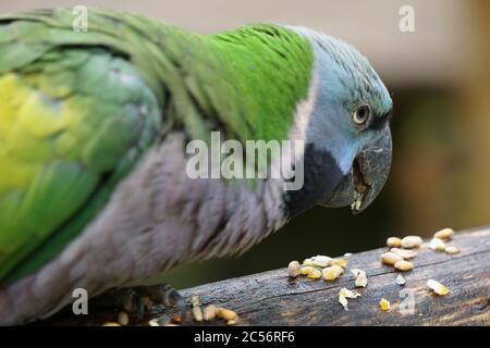 Un cliché sélectif de la macaw à tête bleue mangeant des graines sur le rondins Banque D'Images