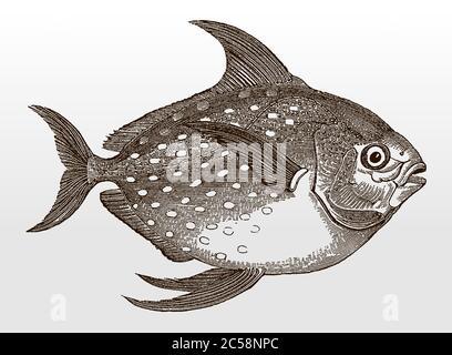 Opah, lampris guttatus, un poisson marin distribué dans le monde entier, en vue latérale après une illustration antique du XIXe siècle Banque D'Images