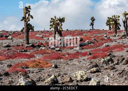 Les cactus Tall poussent parmi les roches couvertes de plantes rouges du sesuvium à South Plaza Island, Galapagos