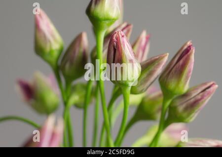 Photo de très gros plan ciboulettes ou Allium schoenoprasum fleurs dans vase en verre sur fond gris, mise au point sélective Banque D'Images