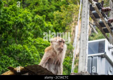 Macaque Monkey à Railay, Krabi, Thaïlande