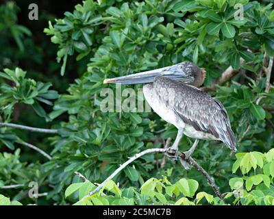 Pelican brun juvénile (Pelecanus occidentalis) perché sur une branche d'un arbre, au Costa Rica