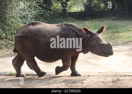 Rhinoceros indiens marchant en milieu de journée