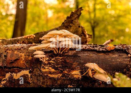 Groupe de bouillies de hêtre sur un arbre de hêtre mort