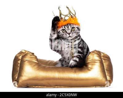 Doux tabby argent Britannique Shorthair chat chaton, assis dans le panier fGolden port doré avec orange crwon. Regarder vers un appareil photo avec de grands yeux. ISO