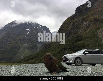 Kea (Nestor notabilis) sur l'île du Sud, Nouvelle-Zélande. Oiseau adulte assis sur le parking dans les montagnes avec voiture en arrière-plan.