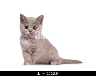 Mignon lilas tortie britannique Shorthair chat chaton, assis sur le côté. Regarder un appareil photo avec des yeux ronds bruns. Isolé sur fond blanc.