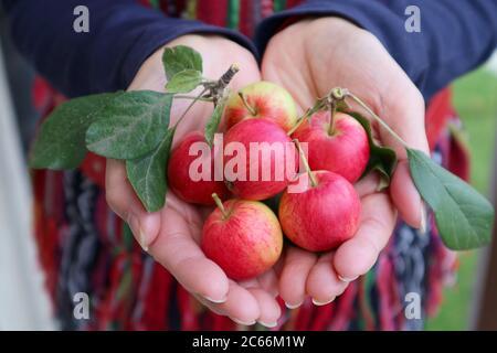 Tas de petits fruits de pomme de crabe mûr frais dans la main de la femme
